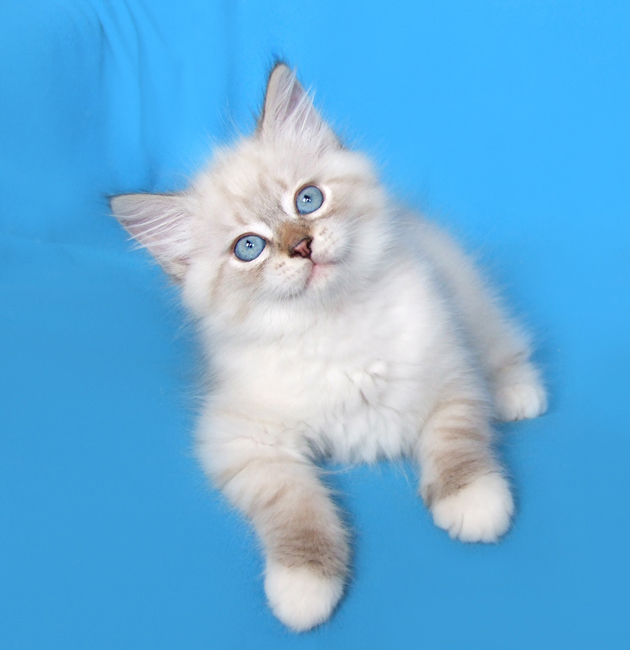 Продажа невских маскарадных котят в гдзержинске